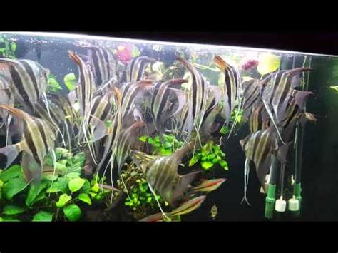 Altum Angle fish eating by Mr