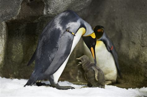 World first as gay King penguins become fathers | Toronto Star