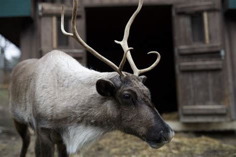 Noel the reindeer is an extrovert who can't wait for